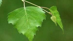 березы лист